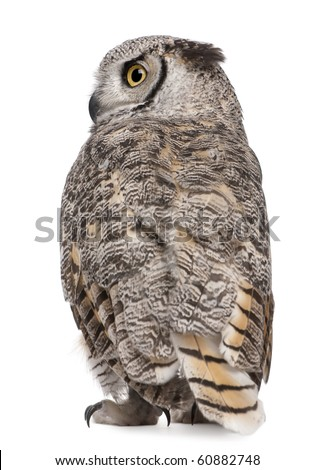 Rear view of Great Horned Owl, Bubo Virginianus Subarcticus, in front of white background - stock photo