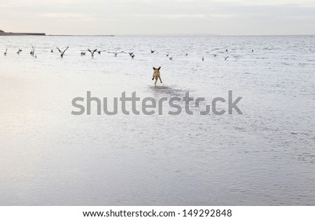 Rear view of mixed breed dog chasing birds at the ocean beach - stock photo