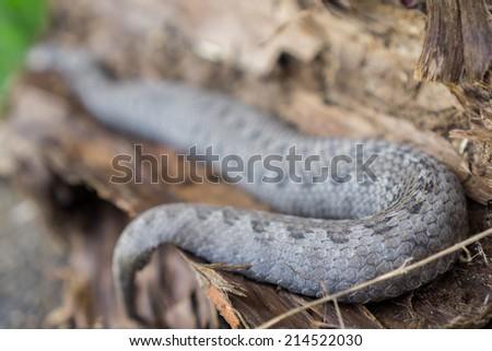 Rear view of pregnant vipera latastei snake over tree bark - stock photo