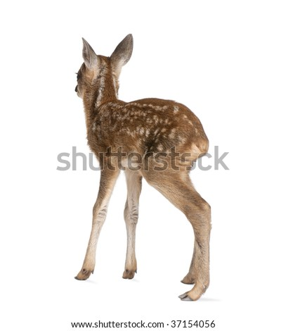 Rear view of Roe Deer Fawn, Capreolus capreolus, 15 days old, standing against white background, studio shot - stock photo