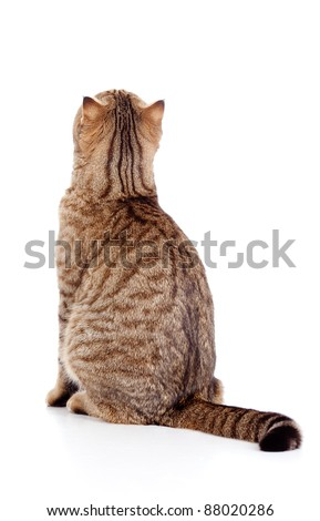 rear view of tabby-cat - stock photo