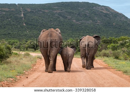 Rear view of three African elephants walking down a dusty gravel road, with a baby walking between two large elephants (Loxdonta) in South Africa - stock photo
