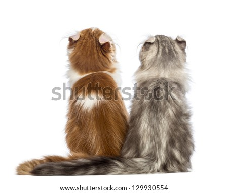 Rear view of two American Curl kittens, 3 months old, sitting and looking up in front of white background - stock photo