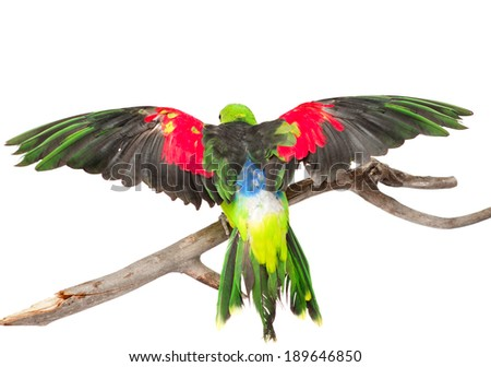 Rear view Red-Winged Parrot (Aprosmictus erythropterus). isolated on white background - stock photo