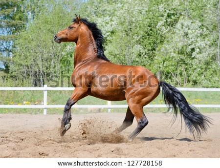 Rearing bay stallion of Ukrainian riding breed on manege - stock photo