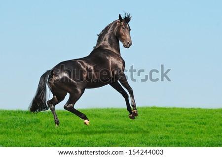 Rearing black horse in green field