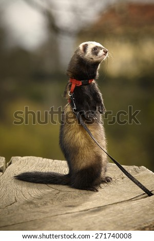 Rearing ferret - stock photo