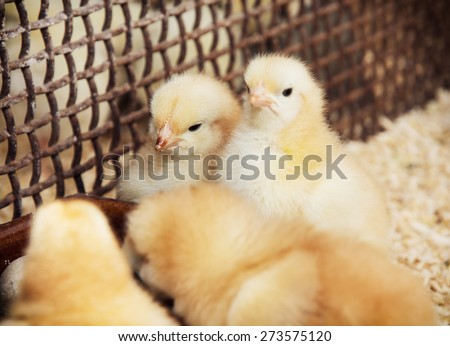 Rearing little yellow chicks. Poultry farming. Agricultural theme.
