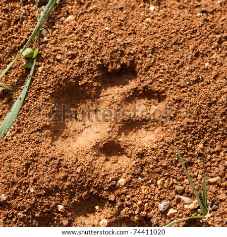 Recent foot print of a cat in surface of soft wet mud. - stock photo