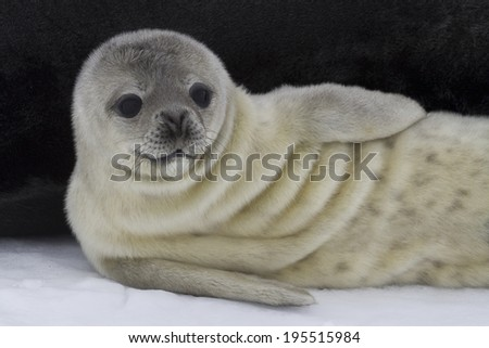 recently born pup Weddell seal lying near the female 1 - stock photo