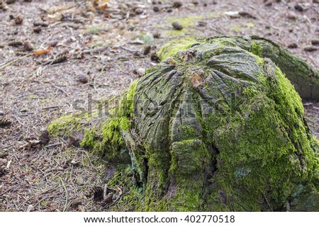 Recently sawed tree stump protrudes above the ground. - stock photo