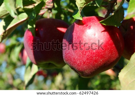Reception of a good harvest of apples in Belarus - stock photo