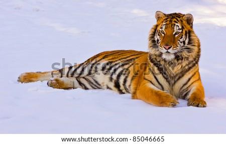 Reclining Siberian tiger (Panthera tigris altaica) in snow - stock photo