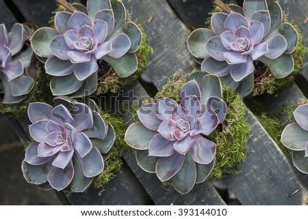 Rectangular arrangement of succulents; cactus succulents in a planter - stock photo