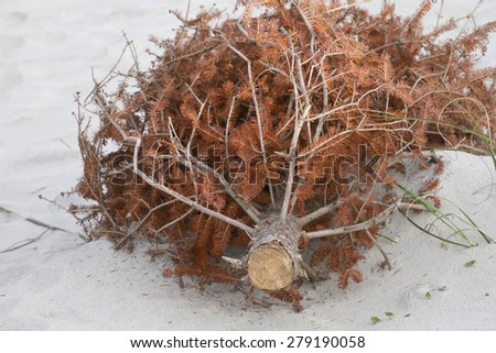 Recycled Christmas tree lining the beach shoring up sand dunes and preventing erosion as the wind covers it with sand and turns it into a sand dune  - stock photo