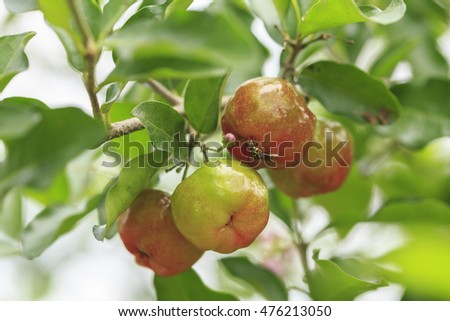 Red acerola cherry on tree in Thailand