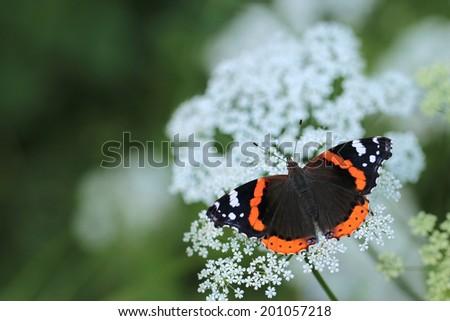 Red Admiral butterfly (Vanessa atalanta) - stock photo