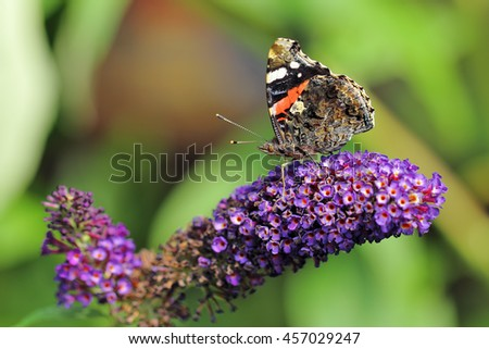 Red Admiral, Vanessa Atalanta butterfly feeding on Purple Buddleja