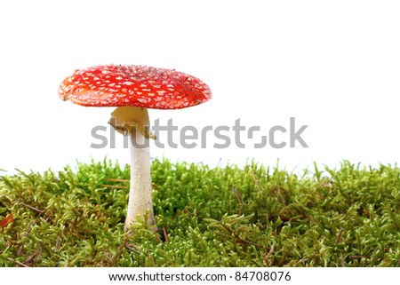 red amanita in moss isolated on white background