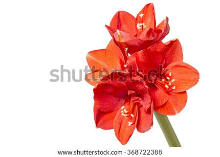 Red Amaryllis (Amaryllidaceae) closeup, isolated - stock photo