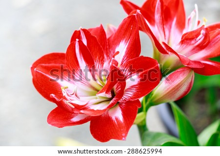 Jersey Lily Lily Jersey Lily