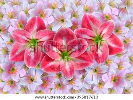 Red Amaryllis flowers over pink Zephyranthes rosea flowers. - stock photo