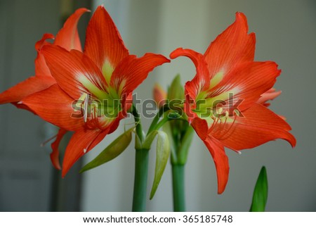 Red Amaryllis in bloom  - stock photo