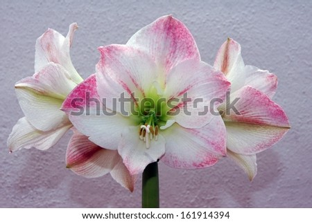 Red amaryllis on gray background Hippeastrum, blooming, beautiful - stock photo