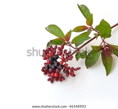 Red and Black Berries on Branch for Background