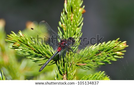 Red and black Dragonfly perched on a pine tree