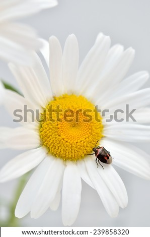 red and black insect on a daisy petal, light grey background, studio shot, close up, vertical - stock photo