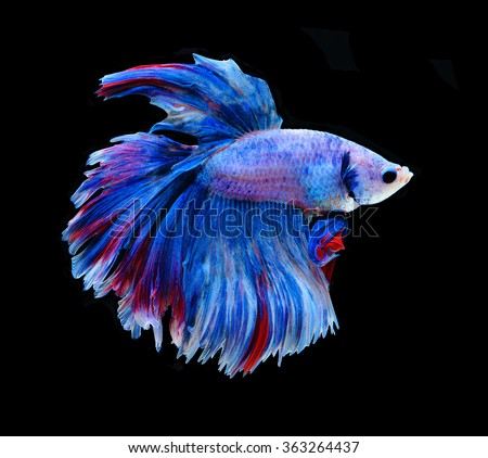 Nattapolstudio 39 s portfolio on shutterstock for Betta fish sleeping