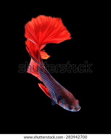 Red and blue siamese fighting fish halfmoon , betta fish isolated on black background.  - stock photo