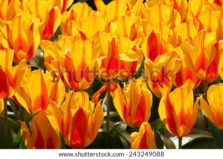 Red and gold tulips, Keukenhof Gardens, The Netherlands.