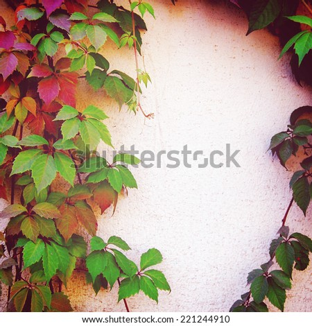 Red and green autumn leaves on the fence - vintage effect. Place for text. Climbing plant on the yellow wall - toned image. Parthenocissus, Virginia creeper background in autumn season - retro photo. - stock photo