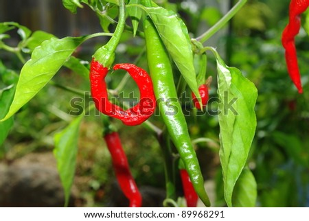 Red and green chilli peppers growing in the garden - stock photo