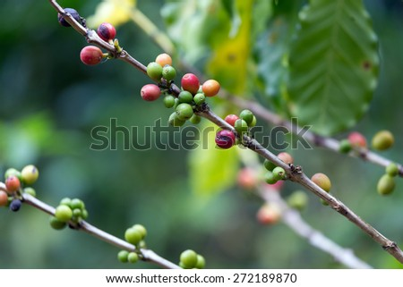 Red and green Coffee berries on the tree - stock photo