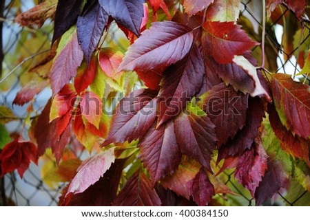 Red and green leaves of decorative grapes on a wal inl fall time - stock photo
