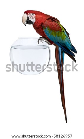 Red-and-green Macaw, Ara chloropterus, standing on fish bowl in front of white background - stock photo