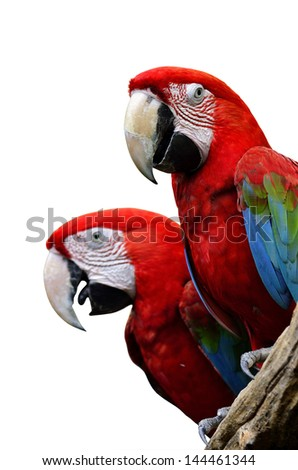 Red and green Macaw, Green-winged macaw, green wing macaw, red macaws in lovely moment, isolated on white background - stock photo