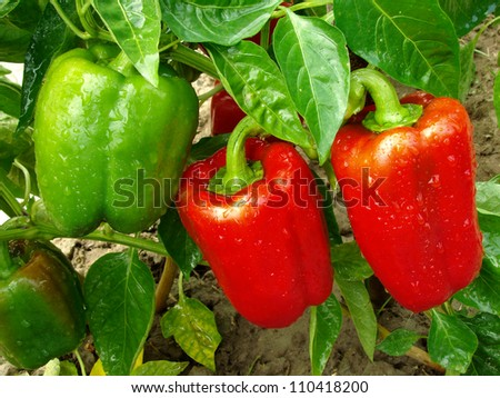 red and green peppers growing in the garden - stock photo