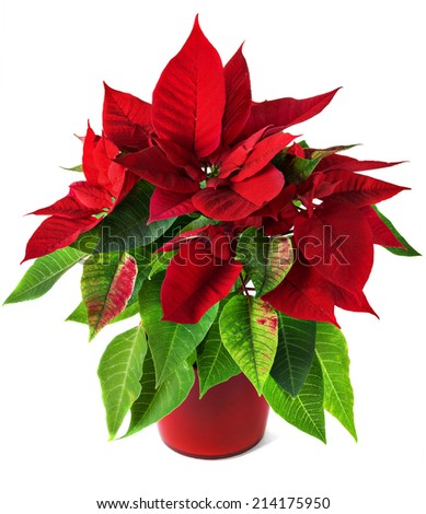 Red and green poinsettia plant for Christmas isolated on white background - stock photo