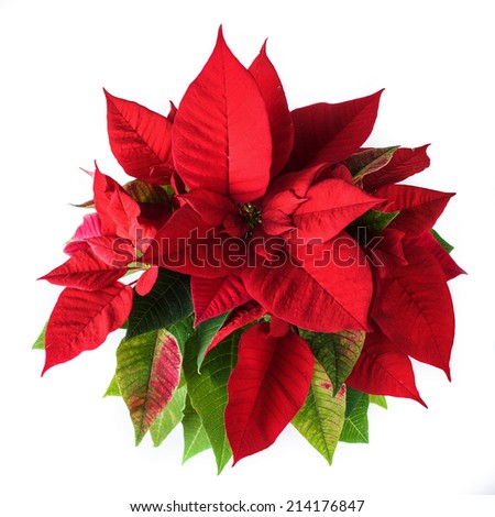 Red and green poinsettia plant for Christmas isolated on white background, view from above