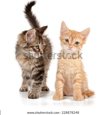 Red and grey kittens on a white isolated background looks ahead and to the left