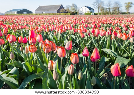 Red and orange flowering tulips at the field of a Dutch bulb nursery on a sunny day in the spring season. - stock photo