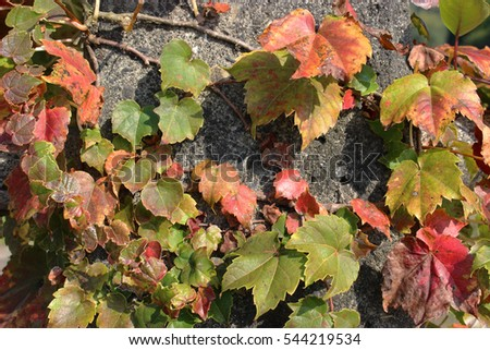 red and orange ivy leaves on the concrete block