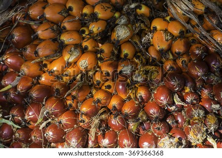 Red and Orange ripe palm oil fruit - stock photo