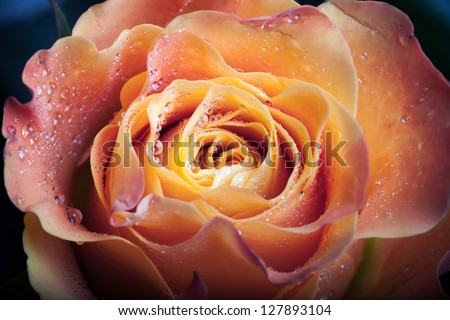Red and orange rose flower close-up photo with shallow depth of field - stock photo