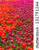 Red and pink blooming tulip flower field - stock photo