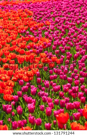 Red and pink blooming tulip flower field